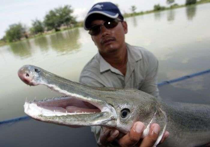 Миссисипский панцирник або риба-алігатор (16 фото)