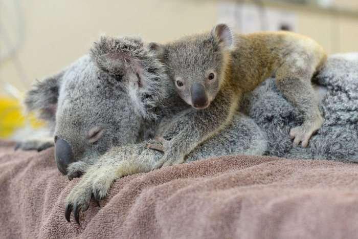 Дитинча коали не стали розлучати з матірю навіть на час операції (6 фото)