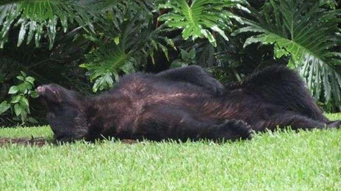 У США ведмідь поласував вкраденим собачим кормом і заснув на задньому дворі приватного будинку (3 фото)