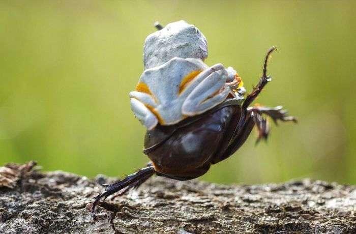 Мініатюрне родео: жаба верхи на жука (6 фото)