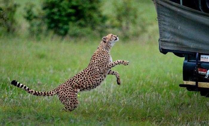 Незапланована поїздка в компанії гепарда (4 фото)