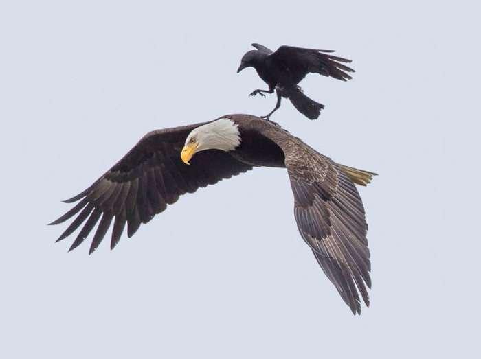 Ворона осідлала орлана (5 фото)
