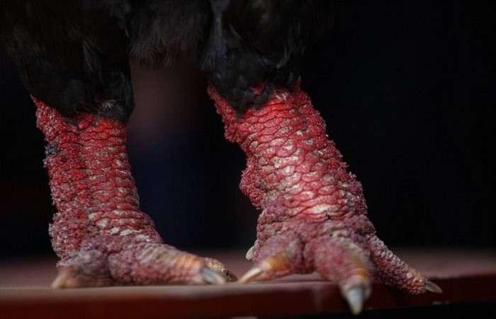 Донг Тао - кури з лапами дракона (14 фото)