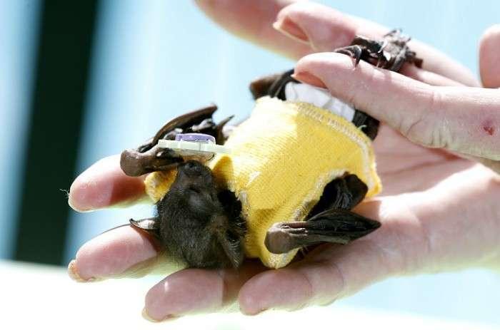 Джонні Депп взяв на себе опіку над осиротілої летючої собакою (7 фото)