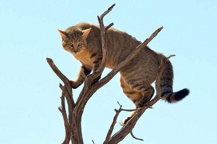 Рятуючись від степової рисі, дика кішка зробила неймовірний стрибок (4 фото)