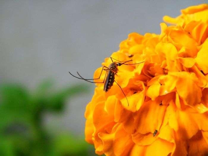 З-за чого комарі кусають деяких людей частіше інших (6 фото)