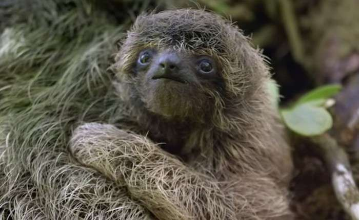 Цікаві факти про ленивцах (17 фото)