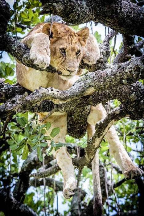 Леви на дереві (14 фото)