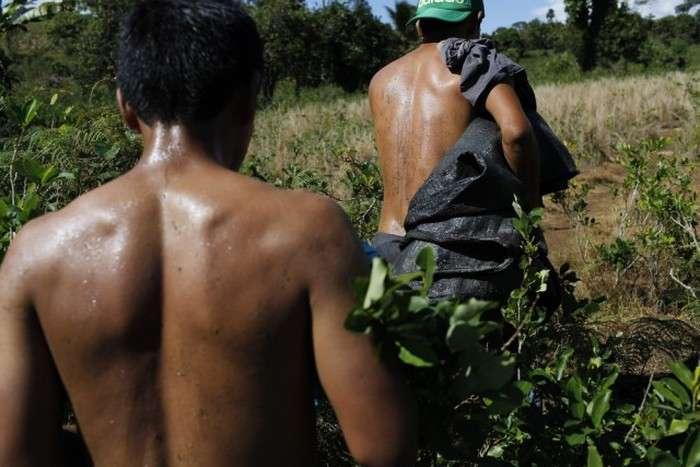Як жителі Перу вирощують коку (13 фото)