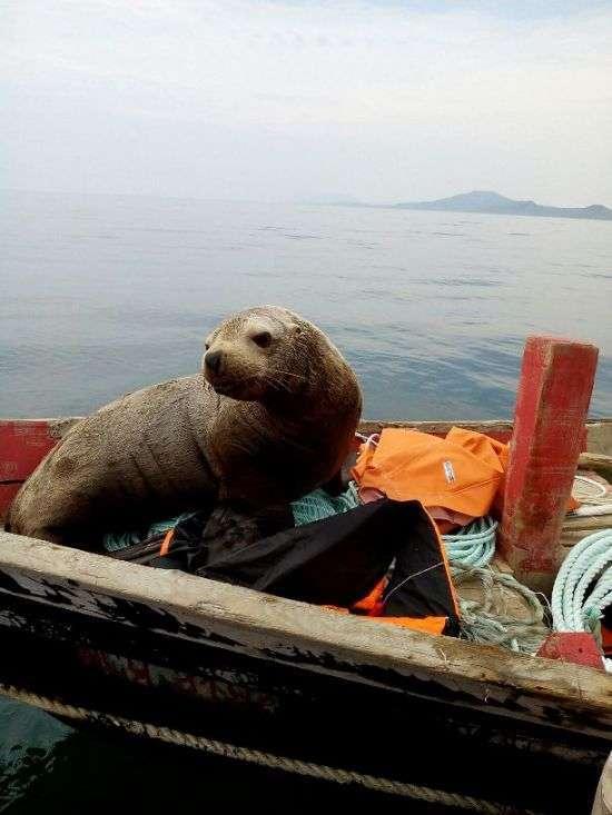 Морський котик протягом 8 годин катався на човні з сахалинскими рибалками (5 фото)