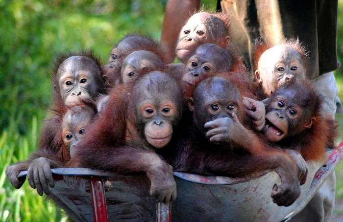Маленькі орангутанги лінуються ходити пішки (7 фото)