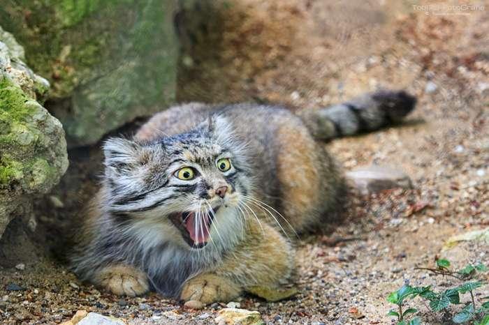 Цікаві фотографії диких котів – манулов (25 фото)