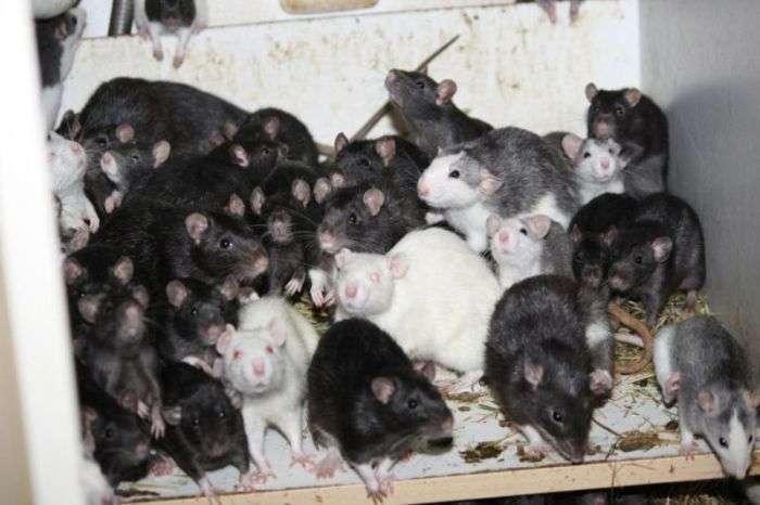 У Мюнхені чоловік ділив свою 2-кімнатну квартиру з трьома сотнями щурів (14 фото)