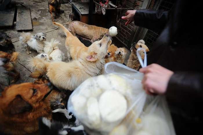 Літня китаянка врятувала 100 собак, яких повинні були зїсти (16 фото)