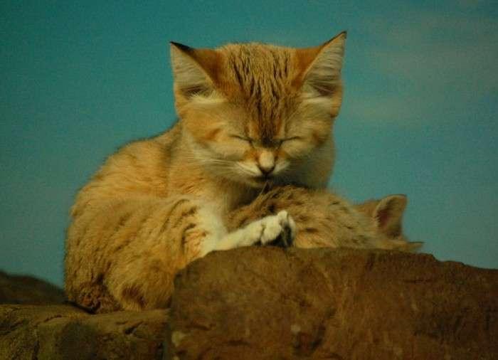 Барханный кіт - кіт, який завжди залишається схожим на кошеня (10 фото)