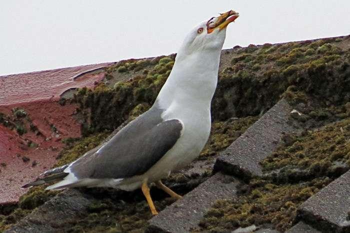 Чайка щільно пообідала (5 фото)