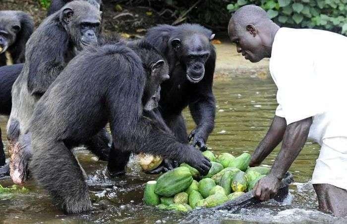 Історія 66 шимпанзе, кинутих напризволяще після закінчення експериментів (10 фото)