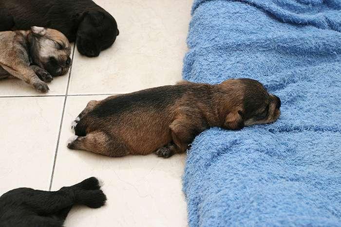 Милі сплячі цуценята (37 фото)