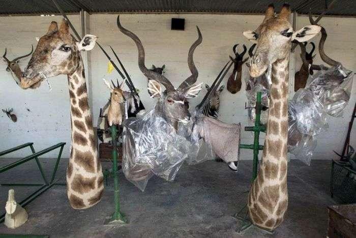 У таксидермической майстерні Намібії (17 фото)
