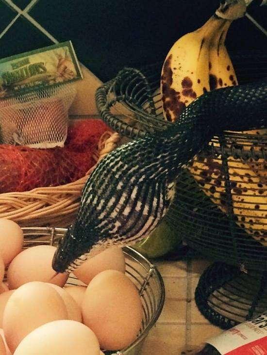 Непроханий гість знайшов чим поласувати на кухні (3 фото + відео)