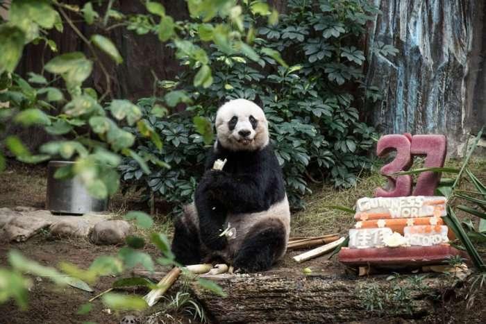 37-річна панда Цзя-Цзя стала найстарішою пандою в світі (3 фото)