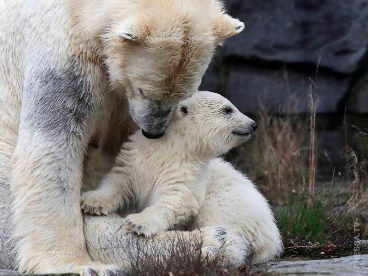 Берлинский зоопарк показал нового белого медвежонка Интересное