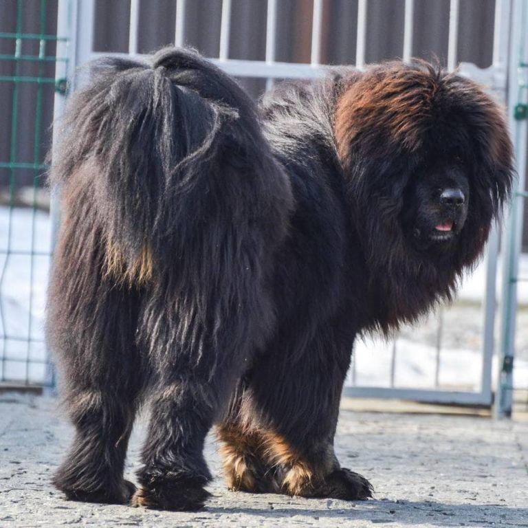 17 снимков тибетских мастифов, в которых 60 килограммов шерсти, любви и очарования зверушки,живность,питомцы, Животные