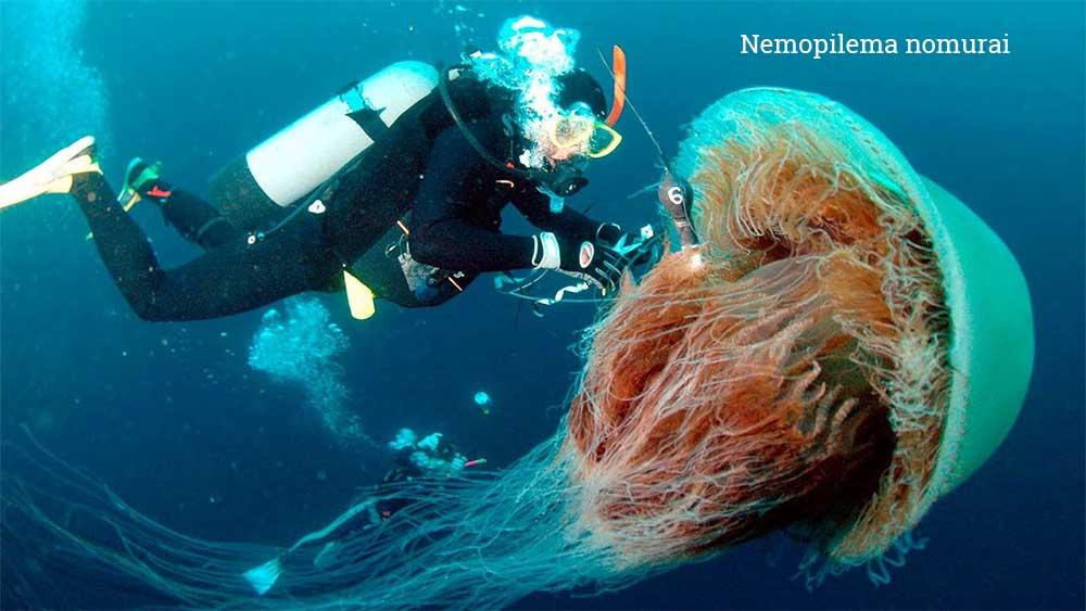 Какая медуза самая большая в мире? Размеры, интересные факты, фото зверушки,живность,питомцы, Животные