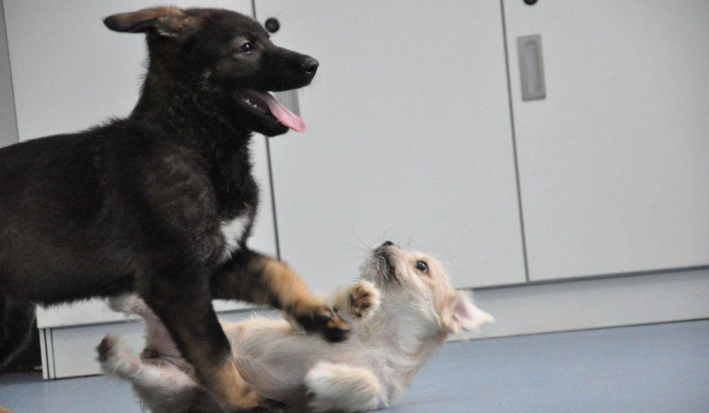 В Китае щенок первой клонированной полицейской собаки приступил к обучению зверушки,живность,питомцы, Животные