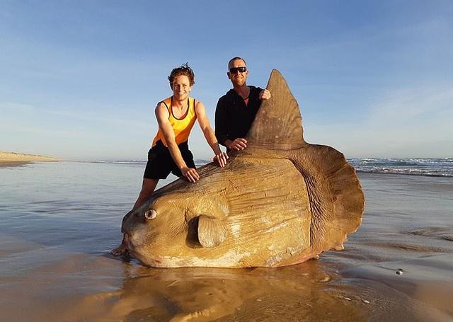 Рыбаки из Австралии обнаружили на мелководье крайне редкую рыбу-солнце. Мир Животных