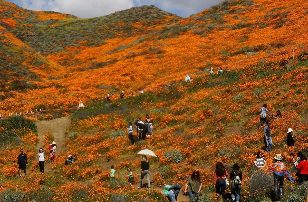 Калифорнийский город вынужден закрыть просмотр «супер цветение» маков из-за толп туристов МиР