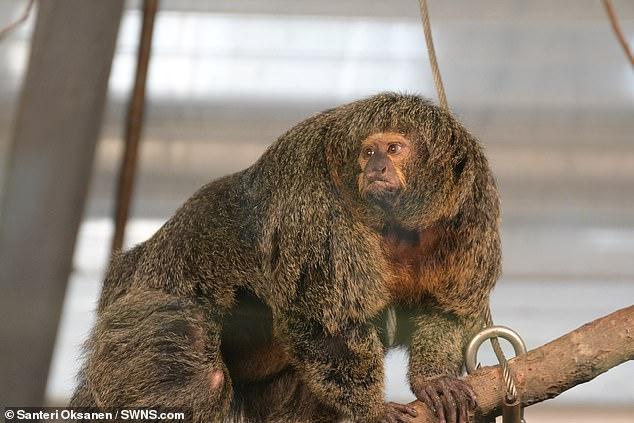 Аномально мускулистую обезьяну сняли на камеру зверушки,живность,питомцы, Животные