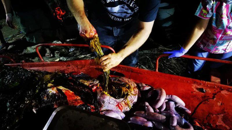 Мусор-убийца: на побережье Филиппин нашли мертвого кита, погибшего от 40 кило съеденного пластика зверушки,живность,питомцы, Животные