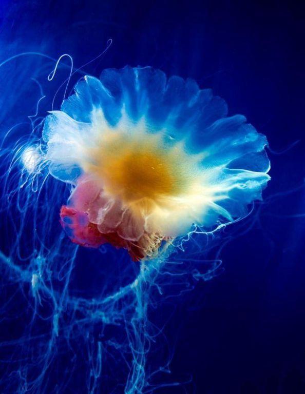 Самые красивые и яркие медузы зверушки,живность,питомцы, Животные