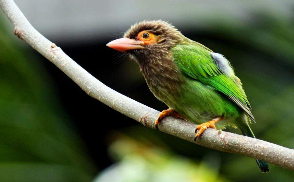 Барбет с коричневой головой, или большой зеленый барбет зверушки,живность,питомцы, Животные