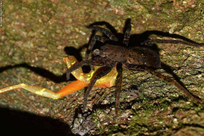 Огромные амазонские пауки едят лягушек, змей и даже опоссумов Интересное