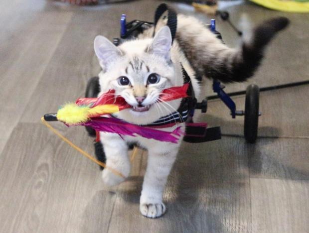 Счастливый случай помог котенку с парализованными лапками попасть в заботливую семью истории из жизни