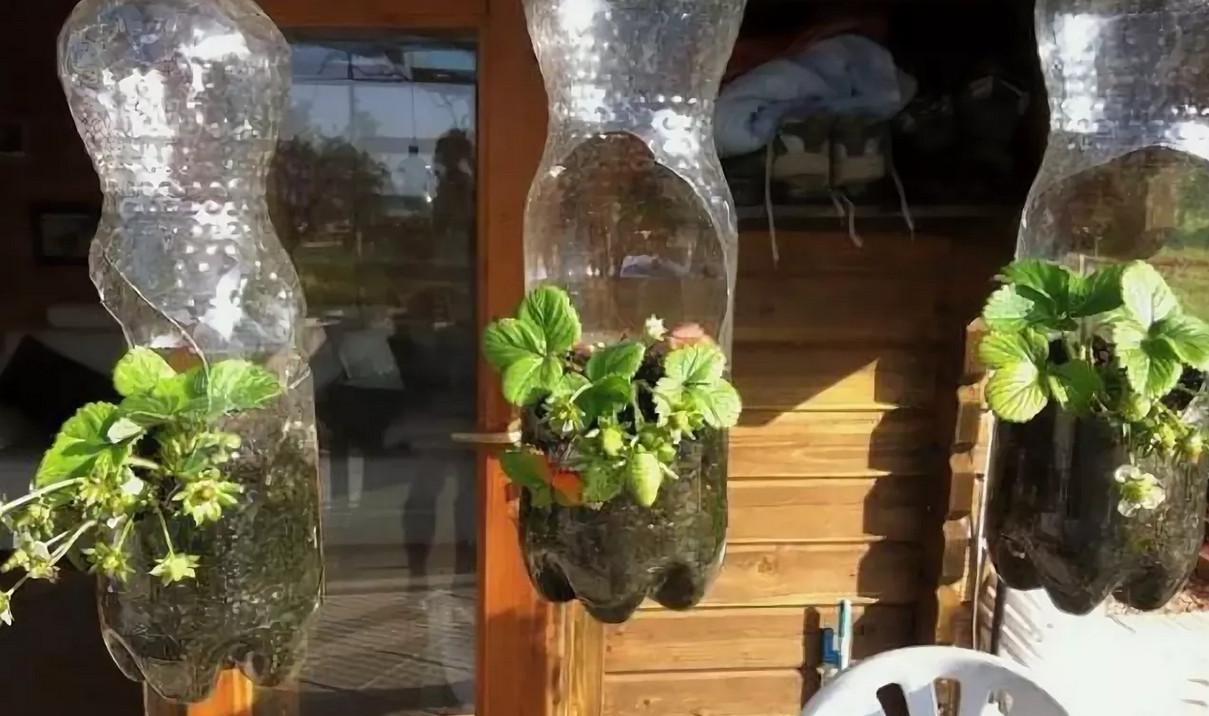 Овощи можно выращивать не на грядке, а в… бутылке! пенсионер устроил шикарный огород на балконе… идеи