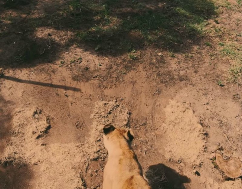 Цирковые львицы, не видевшие белого света, учатся жить заново животные